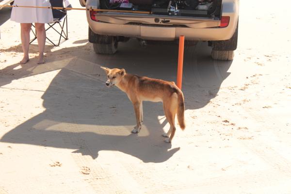 Dingos auf Fraser Island