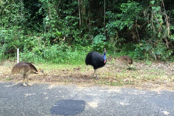 Kasuare, Australien - interessanter Weise der wohl gefährlichste Vogel der Welt… Gut, dass ich das vorher noch nicht wusste...
