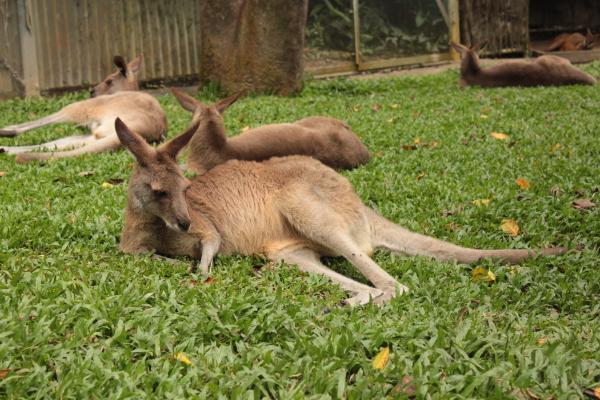 Kangaroos in Australien