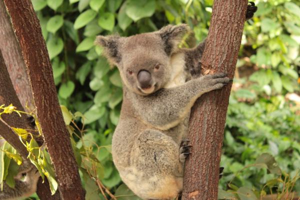 Koala's in Australien
