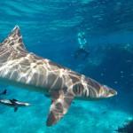 Schnorcheln mit Haien Fiji erleben