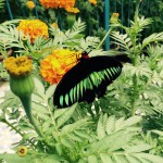 Riesen-Schmetterlinge in Australien