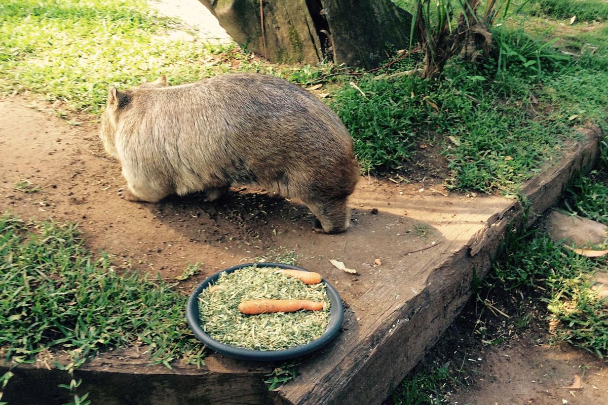 Ein Wombat beim Essen, Australien