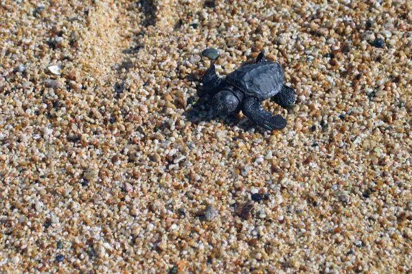 Schildkröten schlüpfen am Pazifik, Mexiko